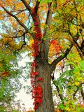 All the Colors of Fall Stand Alone in One Tree Royalty Free Stock Image