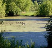 All the Ducks in a Row. The ducks follow each other in a circuitous route through the pond in the late afternoon Royalty Free Stock Photo