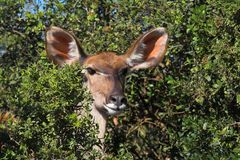 All Ears. Kudu Female peaking out Royalty Free Stock Image