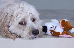 All Eyes - two dogs with big eyes. Two Big Eyes facing each other. Maltese-Poodle puppy dog with companion soft toy Big Eyes are having a staring competition Stock Photography