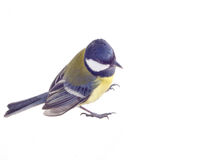 Tit bird 2. All a familiar titmouse on a white background Stock Image