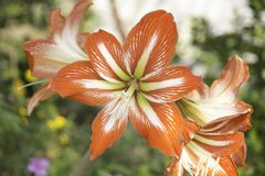 Amaryllis are the easiest to bring to bloom. Of all flowering bulbs, amaryllis are the easiest to bring to bloom. This can be accomplished indoors or out, and Royalty Free Stock Photos