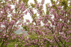 All gardenful cherry blossom Royalty Free Stock Images