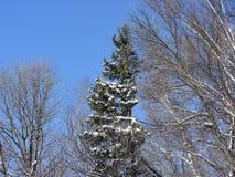 All gran i den blåa himlen i snön Arkivfoton