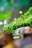 All Grown Up. A single Mycena mushroom in-between some moss Stock Photo