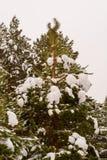 All härlig stor, högväxt grön gran i snön på gatan Tungt snöfall i vinterskogen Royaltyfria Foton