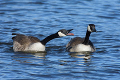 We All Have Something To Say. Two Canada Geese enjoying a warm spring day at the lake Stock Images