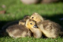 All huddled up. Goslings huddling together in afternoon light Royalty Free Stock Image