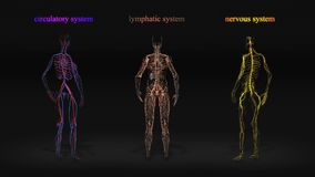 All human body systems. Circulatory system, nervous system, lymphatic system. Loop HD stock video footage