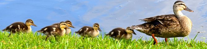 All the little Duckies in a Row Royalty Free Stock Image
