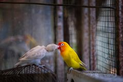 All about love so beautiful alway, beautiful yellow-white parrot stock image
