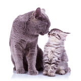 All the love in the world!. All the love in the world shown between a big british cat and a small silver tabby Stock Images