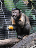 All mine. A capuchin monkey enjoying a snack at Melbourne zoo, Melbourne, Victoria, Australia Royalty Free Stock Photography