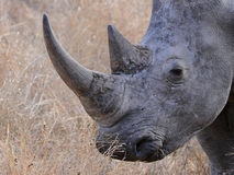 All because of my rhino horn Royalty Free Stock Photo