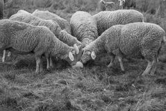 All For One. Sheep farm - all sheep sticking there head together Royalty Free Stock Photography