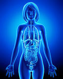 All organs of female body in blue x-ray loop Royalty Free Stock Photo