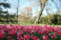 All About the Pink. Carpet  of pink soft, intricate tullips in the foreground with a leaning tree resting in the background at the Cincinnati Zoo and Botanical Royalty Free Stock Photography