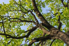 Wide color photography of Massive Oak Tree Royalty Free Stock Photos