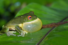 All puffed up green tree frog Royalty Free Stock Photos