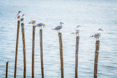 All seagulls birds migrate from northern region of Asia to Thailand Stock Photos