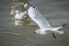 All seagulls birds migrate from northern region of Asia to Thailand Royalty Free Stock Image