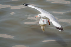 All seagulls birds migrate from northern region of Asia to Thailand Stock Images