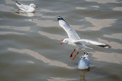 All seagulls birds migrate from northern region of Asia to Thailand Royalty Free Stock Images