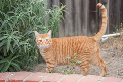 All senses on full alert. Orange Tabby cat stimulated with tail straight up Stock Photo