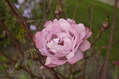 All shades of delicate pink open rose Stock Image