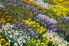 All shades of potted pansies Royalty Free Stock Photography