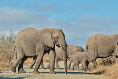 All together. Heard of elephants crosses a road in Kruger National Park Stock Photography