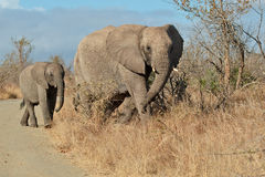 All together. Elephants crossing a road in Kruger National Park Royalty Free Stock Photography