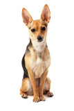 All understanding but can't saying. Sitting small dog (Russian toy terrier) over white Stock Images