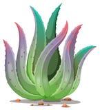 all växtvera för aloe bakgrund isolerad white Arkivbilder