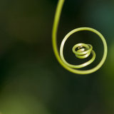 All The Way To The End. A passion flower tendril curls around and around royalty free stock photo