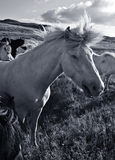 All the Wild Horses ... High contrast black and white photo of a wild looking horse Royalty Free Stock Images