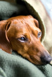 All Wrapped up. Head of a Miniature Dachshund visible, the rest being covered by blankets Stock Photo
