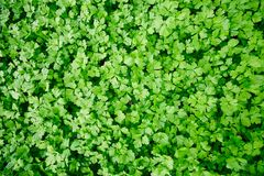 All-year greenery. Background of green parsley leaves grown on agricultural plantation Royalty Free Stock Photos