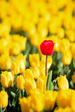 All yellow tulips one red Stock Images