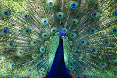 All you can see. This is a peacock up close Royalty Free Stock Images