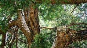 Alla cima fra le belle conifere fotografie stock