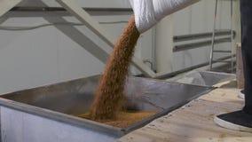 Alla fabbrica per la separazione e l'imballaggio dei cereali e dei grani Il lavoratore versa in un grano saraceno speciale del ca video d archivio