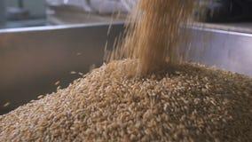 Alla fabbrica per la separazione e l'imballaggio dei cereali e dei grani Il lavoratore versa in un grano saraceno speciale del ca archivi video