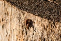 Alla luce solare una cavalletta si siede su un ceppo Fotografie Stock