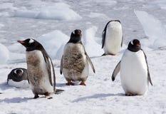alla vita pingvin för black inte Arkivbilder