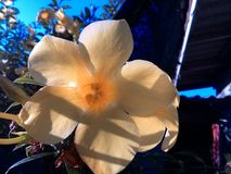 Allamanda Fotos de Stock Royalty Free