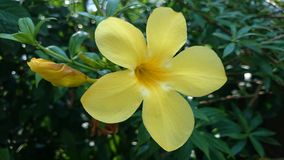 Allamanda. All Allamanda they have many names such as Common allamanda, Golden trumpet, Golden trumpet vine, Yellow bell Royalty Free Stock Photos