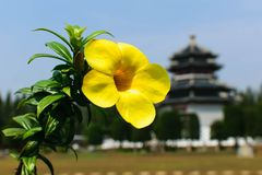 Allamanda. Allamauda in Thailand royalty free stock photography