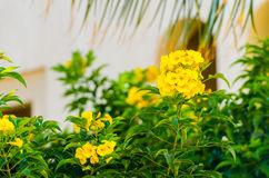 Allamanda, also known as Yellow Bell Royalty Free Stock Images