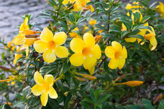 Allamanda, beautiful yellow flower Royalty Free Stock Image